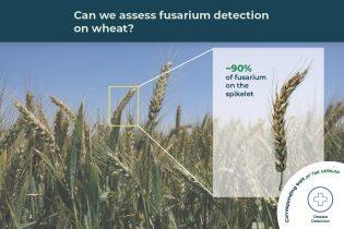 fusarium detection trait illustrated