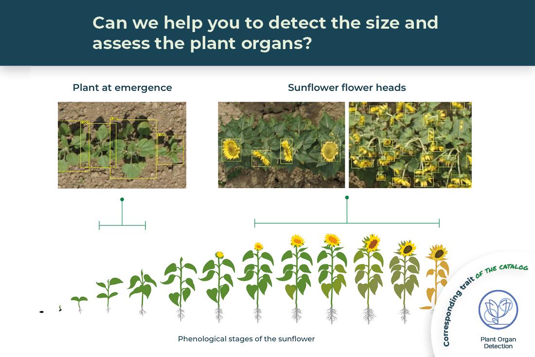sunflower organs detection illustrated