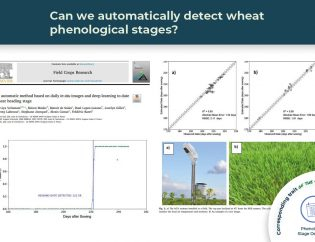 wheat phenological stages detection illustrated