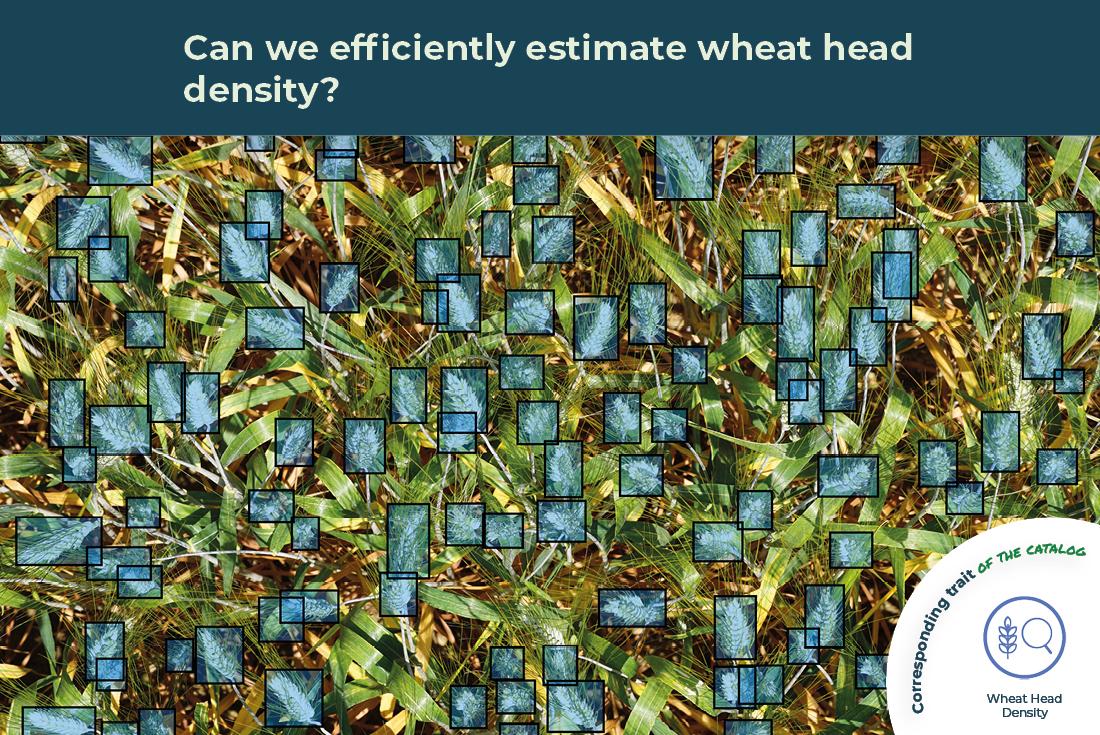 wheat head density trait illustrated